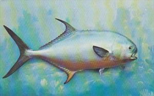 Permit Fish Found In Shallow Waters Off Florida Coast Largest Of Pompano Family