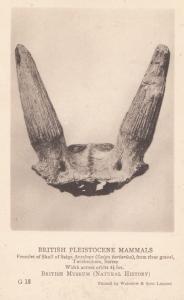 Skull Of Saiga Antelope found Twickenham Surrey London History Museum Postcard