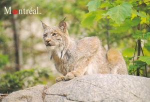 Canadian Lynx The Montreal Biodome Montreal Canada