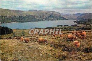 Modern Postcard Highland cattle by the shores of Loch Fyne Argyllshire scotland