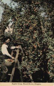 Oregon Hood River Apple Crop Harvesting sk4111