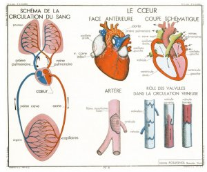 The Lungs Respiration Heart Blood Artery School Education Postcard