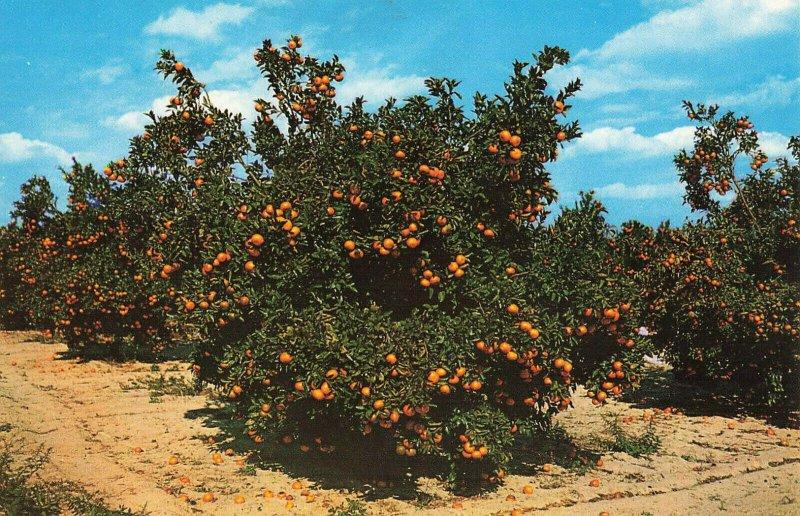Postcard Orange Groves Central Florida