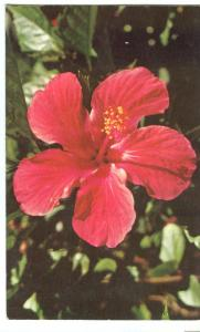 Lovely Red Hibiscus in Florida, unused Postcard