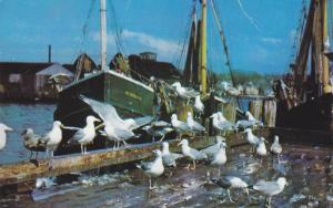 Sea Gulls Feasting on Fish Scraps, Cape Cod, Massachusetts, 40-60´s