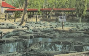 ST. AUGUSTINE, Florida, 1930-40s ; Alligator Farm