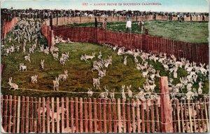 Rabbit Drive in Southern CA c1910 Mitchell Postcard F34
