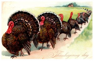 Thanksgiving ,  Turkeys marching