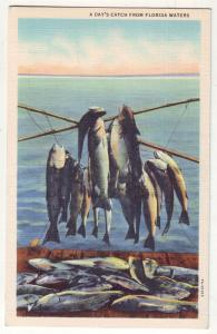 P816 vintage linen card a days catch fishing from florida waters
