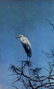 White Heron Cape May NJ 1976