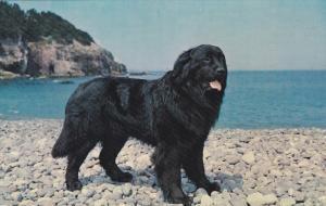Newfoundlan Champion Dog BLACK SAMBO , St John's , Newfoundland ,  Canada , 5...