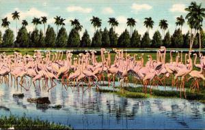 Birds Flamingos At Hialeah Park Miami Florida 1939 Curteich