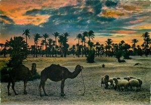 Libya sunset animals sheep