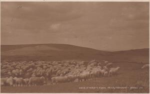 RP: Eastbourne , UK , 1932 ; Thristy Flock , Sheep