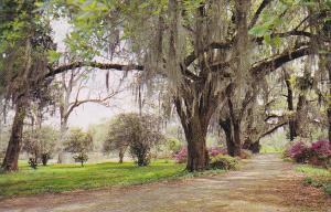 Louisaiana Spanish Moss Oak Trees and Azaleas