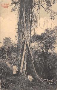 German East Africa Tanzania, Tanganyika, Amani Baumwuerger (Ficus) Tree, Flora