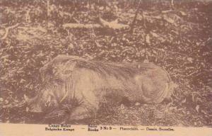 Belgian Congo Phacochere