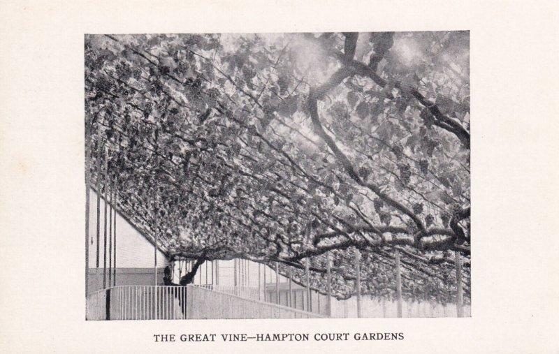 HEREFORDSHIRE, England, 1900-1910's; The Great Vine, Hampton Court Gardens