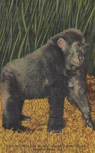 Monkey Jungle , Florida , 1930-40s ; Bulu , Gorilla ; Ver-2