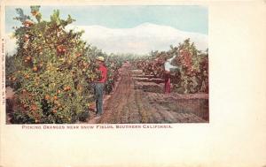 Snow Fields California~Farmers Picking Oranges~c1905 Postcard