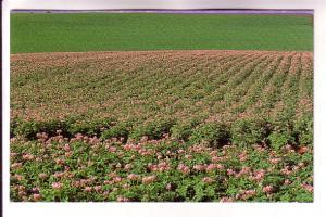 Field of Potato Blossoms, Prince Edward Island