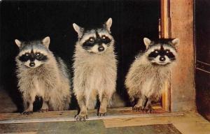 US California coast, Raccoons, bandit-faced animals, Animals, Fauna, Postcard