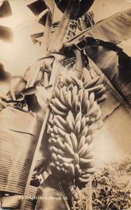Apia Samoa Banana Tree Real Photo Vintage Postcard JE228607