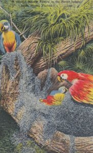 Florida Parrot , 1930-40s #7 (Miami)