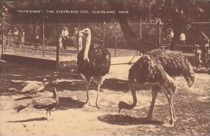 Ohio Cleveland The Cleveland Zoo Ostriches-Artvue