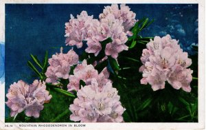 US    PC5249 MOUNTAIN RHODODENDRON IN BLOOM