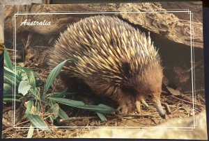 Australia Echidna or Spiny Ant-Eater - unposted Large Card