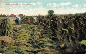 USA Tobacco Harvesting in Connecticut 05.56