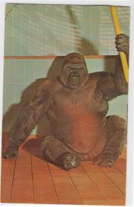 Zowland Gorilla, Samson, Co Zoo, Milwaukee WI
