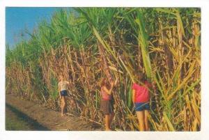Sugar Cane ripe for harvest, Australia, 40-60s