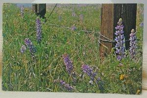 Forest Falls Lupine California Vintage Postcard