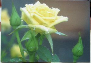 Postcard Flowers Roses Yellow by Dennis Print - unposted