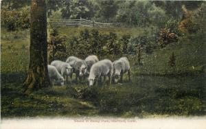 Hartford Connecticut~Sheep Grazing in Keney Park 1905 Postcard