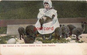1905 SOUTH PASADENA CA Cawston Ostrich Farm Just Hatched publ Rieder
