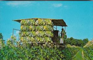Tractor Modern Method Of Harvesting Tobacco