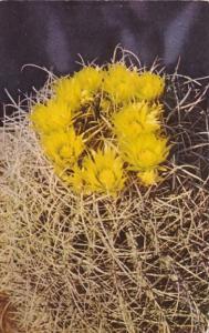 Barrel Cactus Blossoms