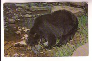 Black Bear Drinking from a River,