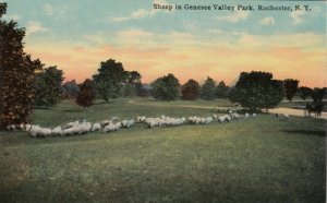 ROCHESTER, New York , 00-10s; Sheep in Genesse Valley Park