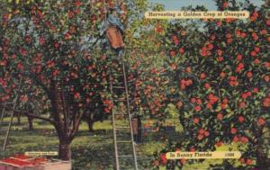 Harvesting A Golden Crop Of Oranges In Sunny Florida 1940