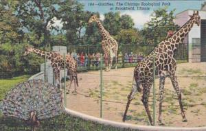 Illinois Chicago Zoological park At Brookfield The Giraffes Curteich