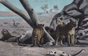 Lions And Tigers, PU-1906