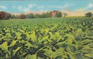 Tobacco Field In Old Kentucky Curteich