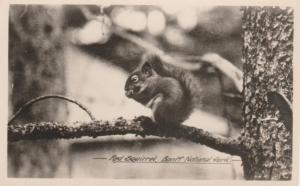 RPPC Red Squirrel at Banff National Park - Alberta, Canada