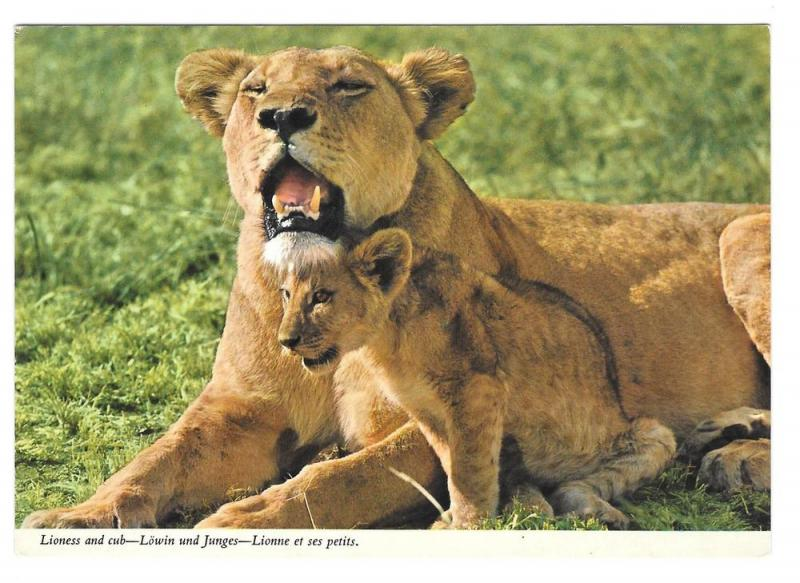 Africa Lions Lioness and Cubs Big Cats John Hinde Postcard