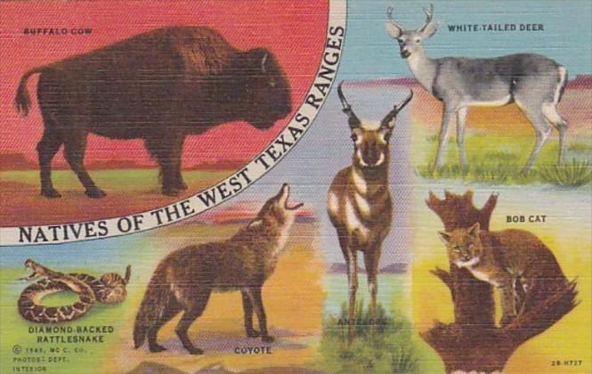 Buffalo Cow Bobcat Rattlesnake Coyote Antelope & Deer Natives Of West Tex...