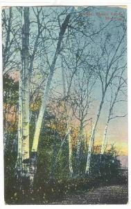 Birches, Mount Royal, Montreal, Quebec, Canada, PU-1913